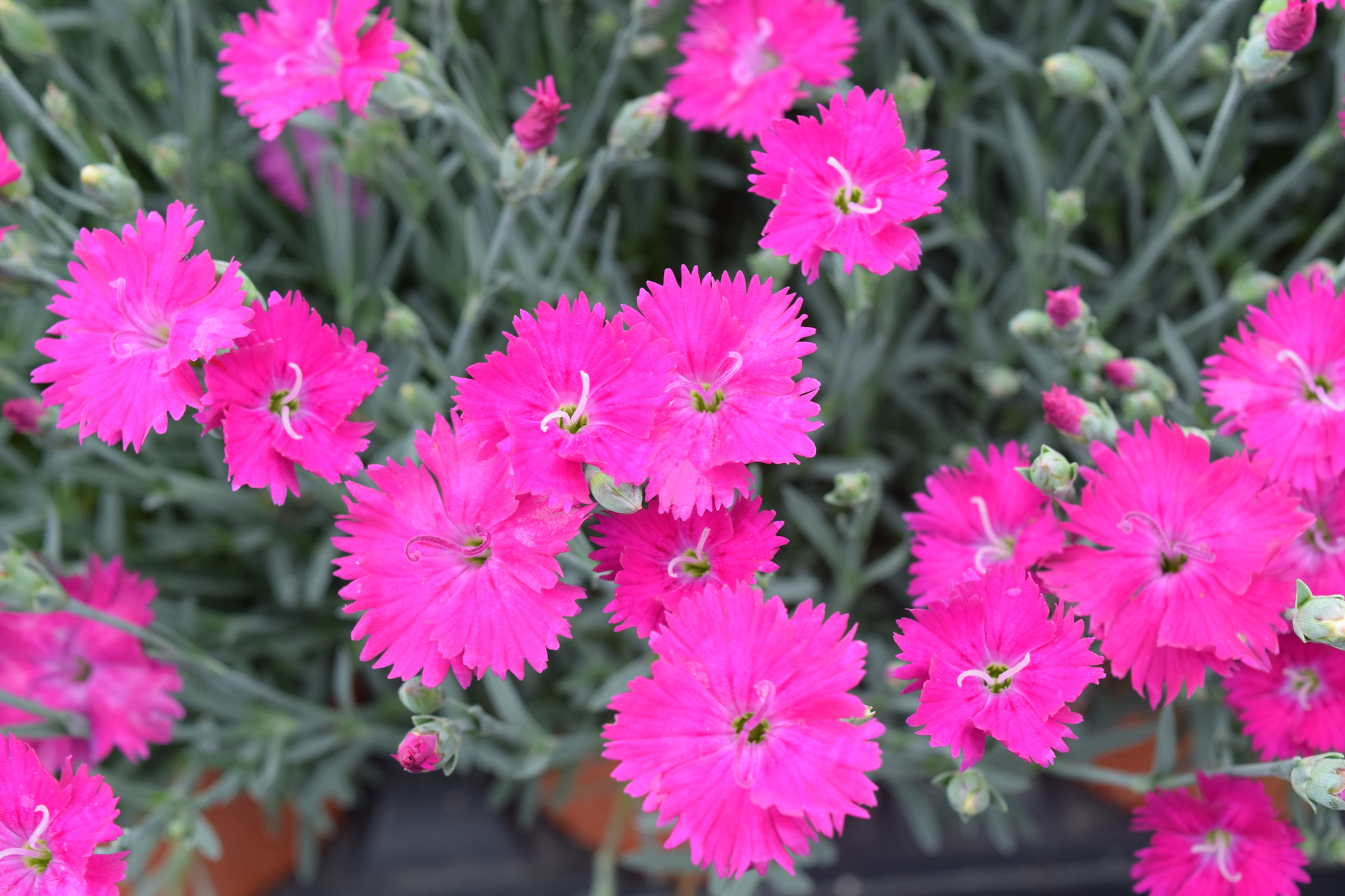 Dianthus Cheddar Pinksspice Pinks Green Lake Nursery