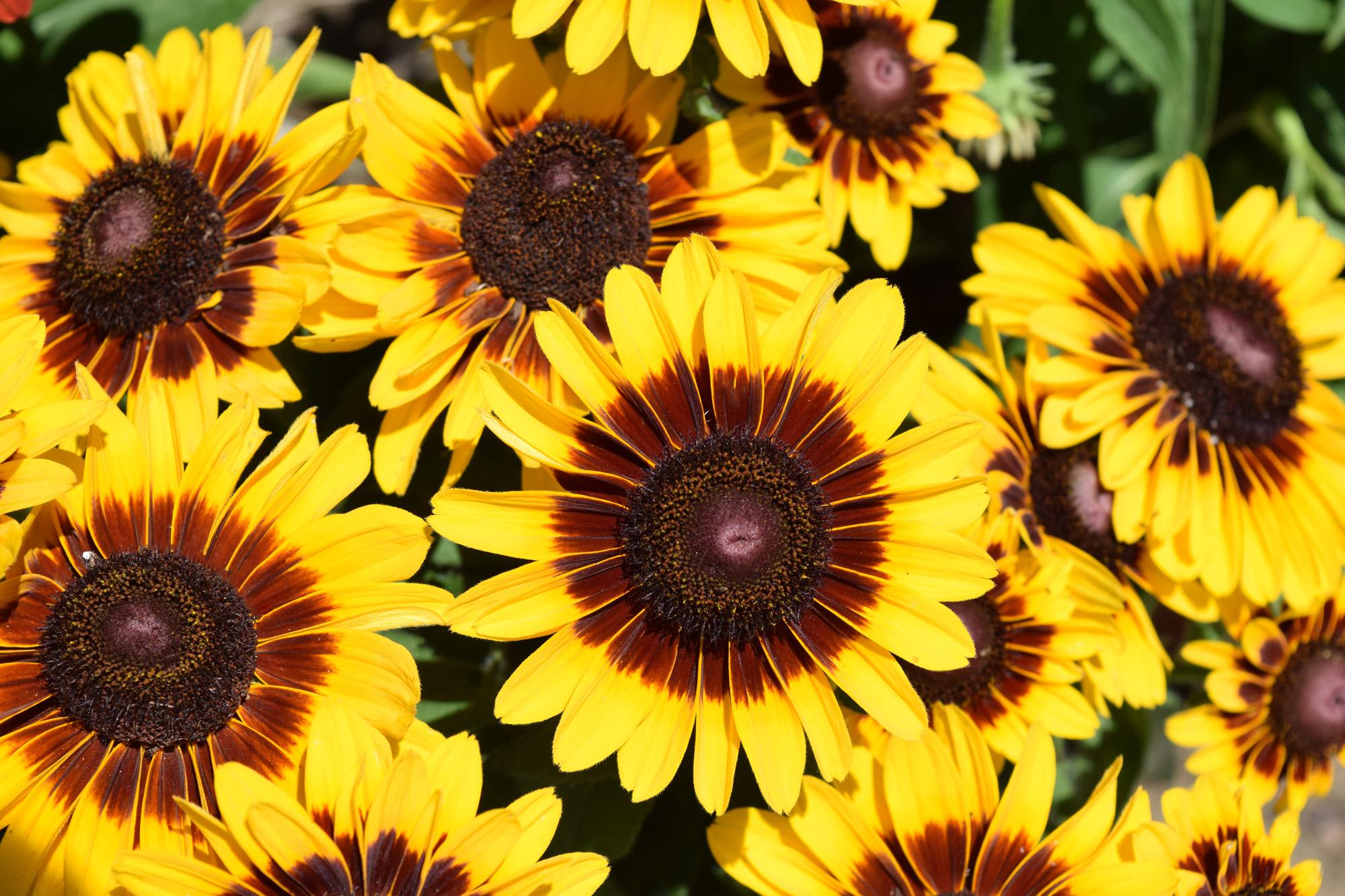 Denver daisy green lake nursery rudbeckia h denver daisy izmirmasajfo Image collections