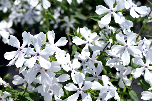 Phlox divaricata 'May Breeze' | GREEN LAKE NURSERY®